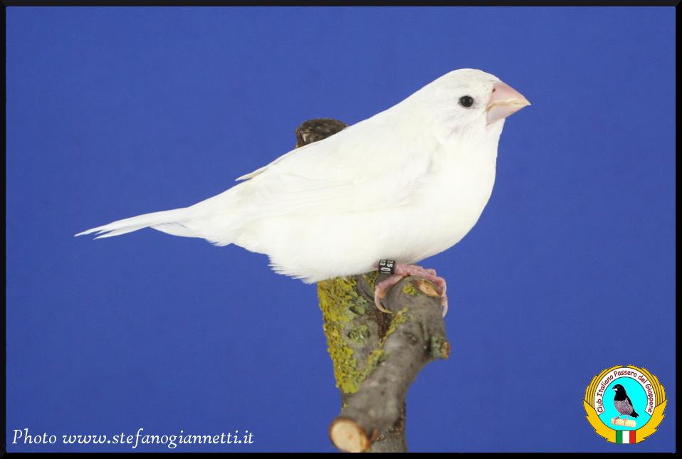 http://www.passerodelgiappone.it/images/mutazioni/bianco_1.JPG