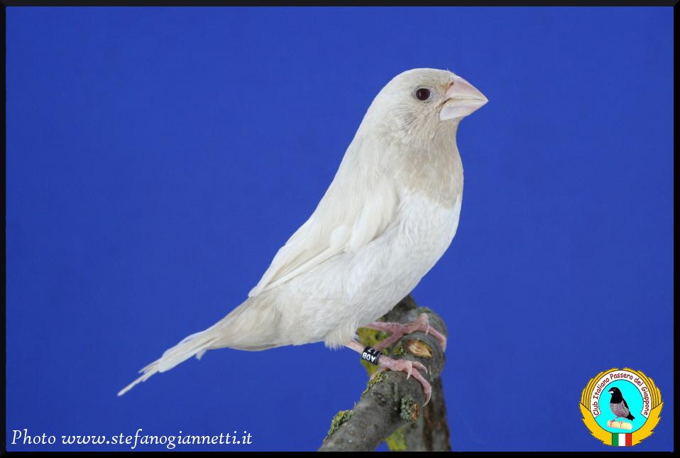 http://www.passerodelgiappone.it/images/mutazioni/greyino_2.JPG