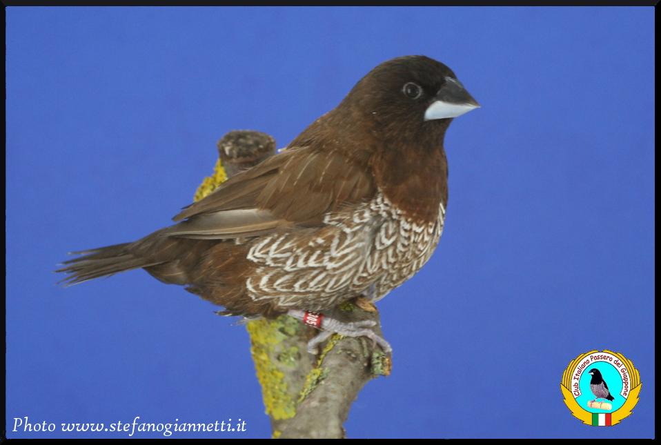 http://www.passerodelgiappone.it/images/mutazioni/mokabruno_1.JPG