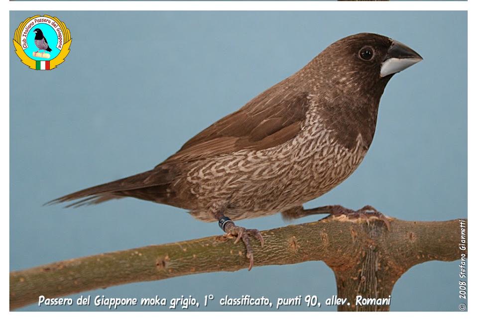 http://www.passerodelgiappone.it/images/mutazioni/mokagrigio_2.JPG