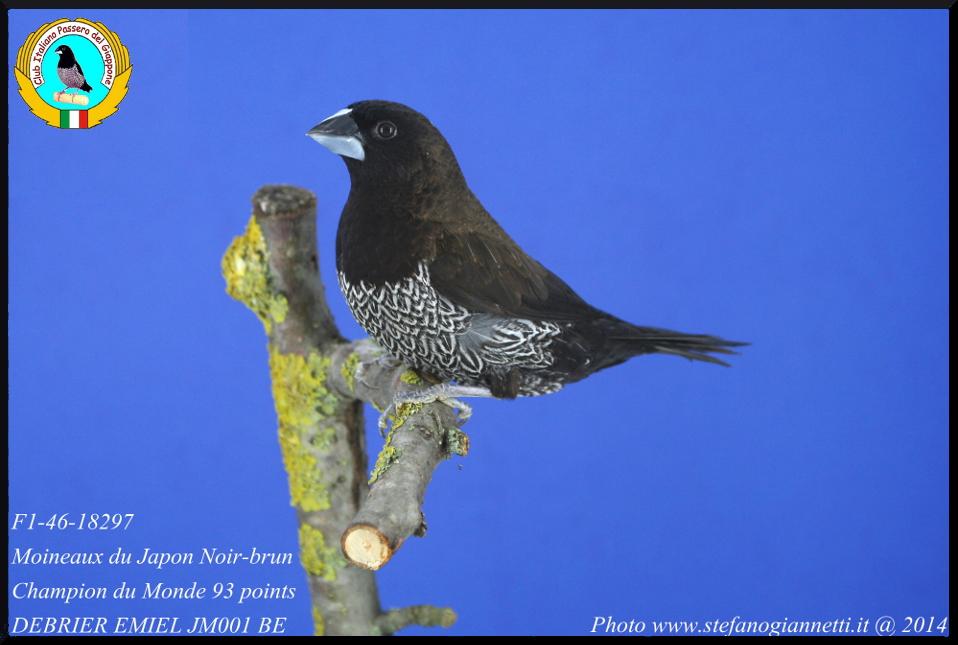 http://www.passerodelgiappone.it/images/mutazioni/nerobruno_1.JPG