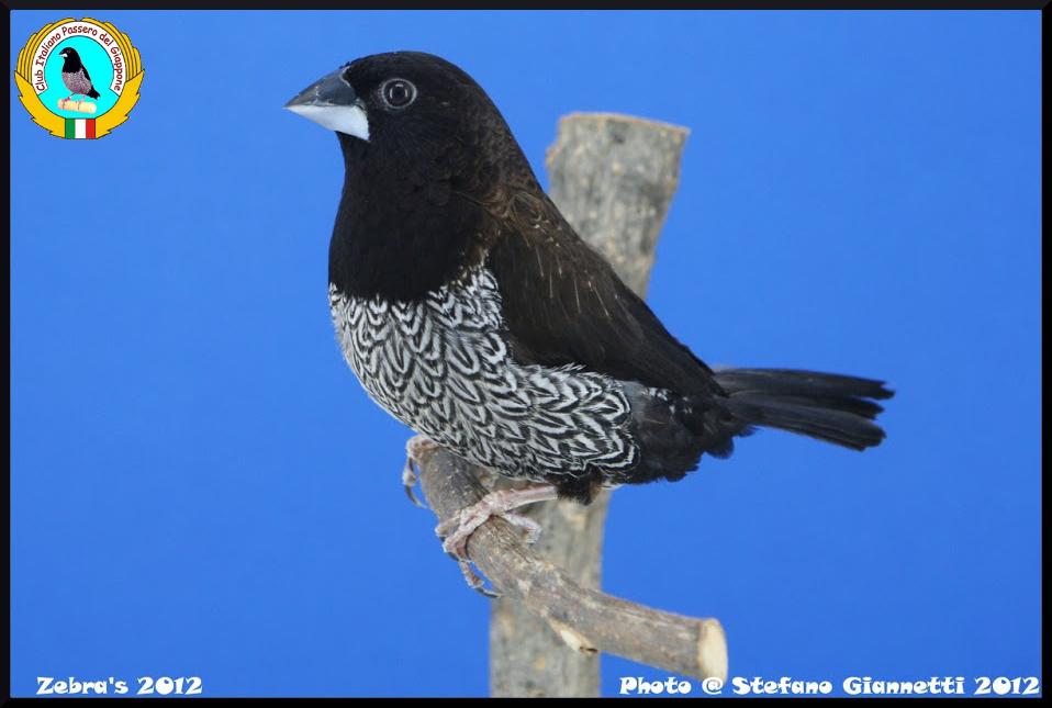 http://www.passerodelgiappone.it/images/mutazioni/nerobruno_2.JPG