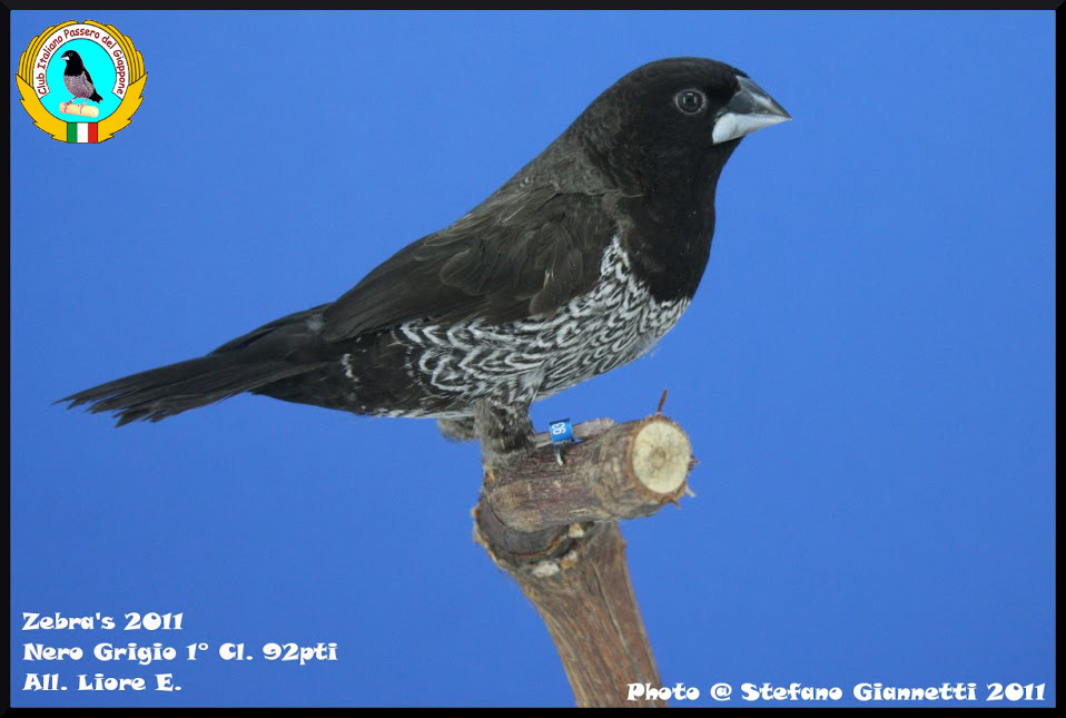 http://www.passerodelgiappone.it/images/mutazioni/nerogrigio_1.JPG