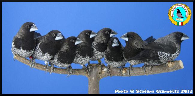 http://www.passerodelgiappone.it/images/mutazioni/nerogrigio_gruppo_3.jpg