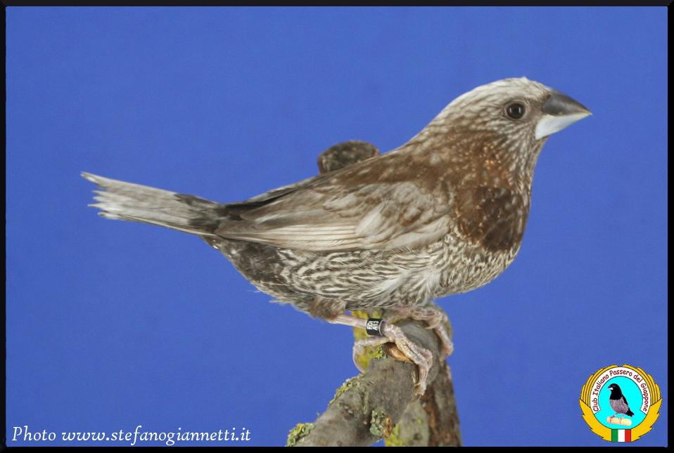 http://www.passerodelgiappone.it/images/mutazioni/perlabruno_1.JPG