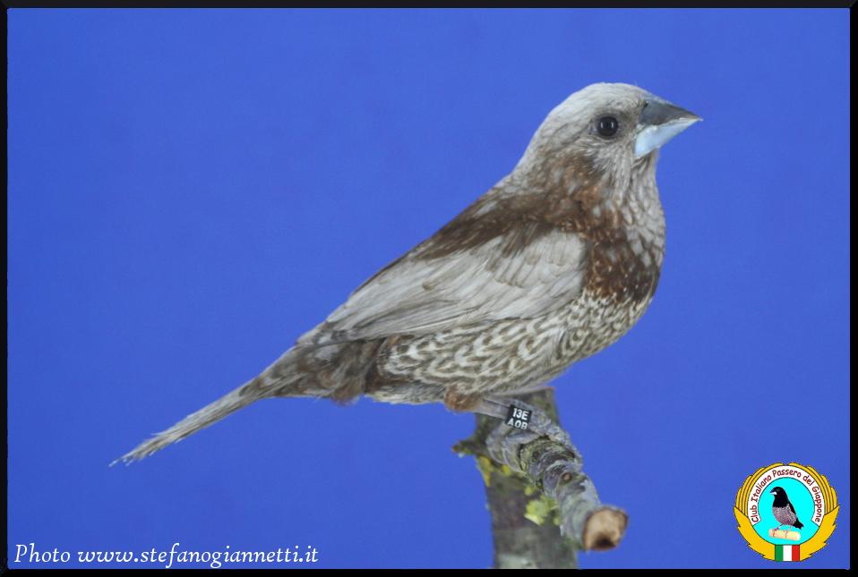http://www.passerodelgiappone.it/images/mutazioni/perlabruno_2.JPG