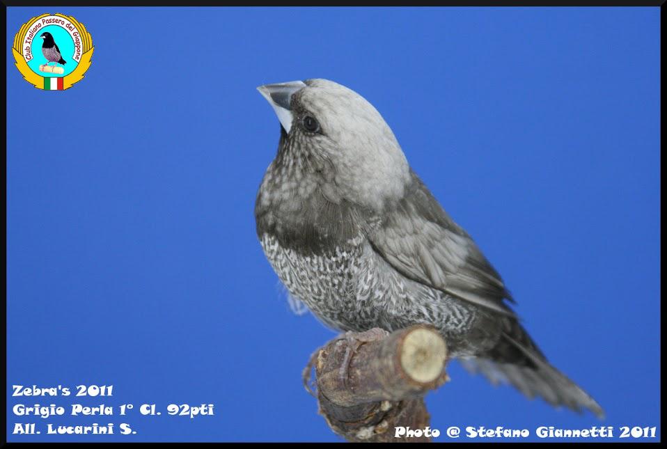 http://www.passerodelgiappone.it/images/mutazioni/perlagrigio_1.JPG