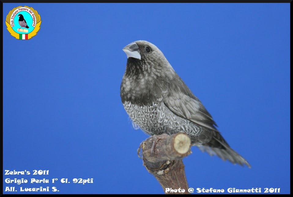 http://www.passerodelgiappone.it/images/mutazioni/perlagrigio_2.JPG