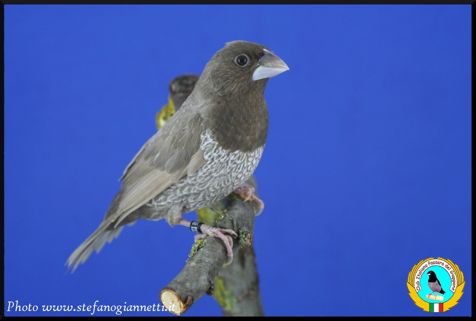 http://www.passerodelgiappone.it/images/mutazioni/rossogrigio_1.JPG