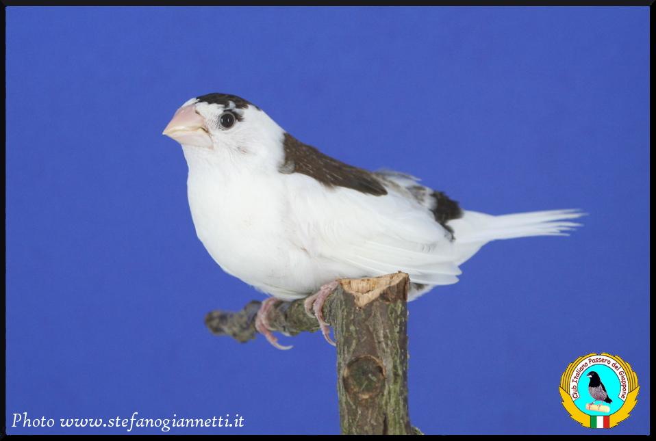 http://www.passerodelgiappone.it/images/mutazioni/scudato_1.JPG