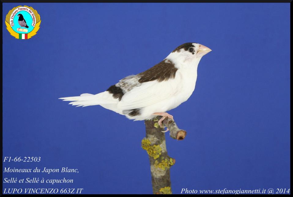 http://www.passerodelgiappone.it/images/mutazioni/scudato_2.JPG